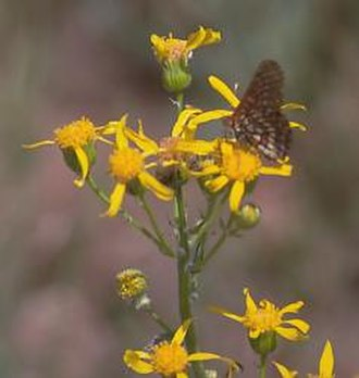 Pine Hill Ecological Reserve - Layne's butterweed.