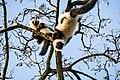 Lemur (25081934157).jpg
