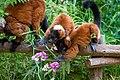 Lemur (36476914831).jpg