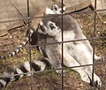 Lemur catta at Skansen spring 2008-10.JPG