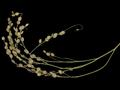 Lepidium sativum 331393.png