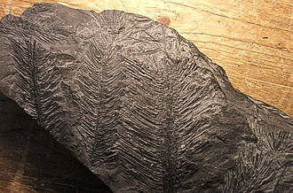 Lepidodendrales - Image: Lepidodendron leaf