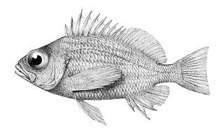 <i>Lepidoperca</i> genus of fishes