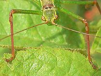 Leptophyes punctatissima 20050822 749 part-2.jpg