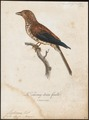 Leptosomus discolor - 1796-1808 - Print - Iconographia Zoologica - Special Collections University of Amsterdam - UBA01 IZ16700271.tif