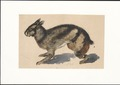 Lepus netscheri - 1884 - Print - Iconographia Zoologica - Special Collections University of Amsterdam - UBA01 IZAA100276.tif