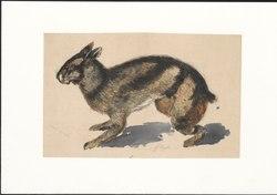 Lepus netscheri - 1884 - Print - Iconographia Zoologica - Special Collections University of Amsterdam - UBA01 IZAA100276.tif