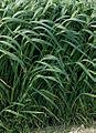Les Plantes Cultivades. Cereals. Imatge 148.jpg