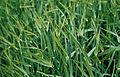 Les Plantes Cultivades. Cereals. Imatge 3206.jpg
