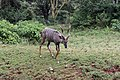 Lesser Kudu at Nairobi National Park.jpg