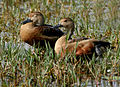 Lesser Whistling-duck (Dendrocygna javanica) in Hyderabad W IMG 8444.jpg