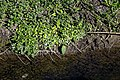 Lesser celandine on Pincey Brook, Chelmsford Road, Hatfield Heath, Essex 03.jpg