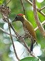 Lesser yellownape (Picus chlorolophus).jpg