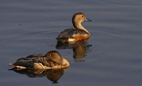 Lesser whistling duck in Santragachhi lake