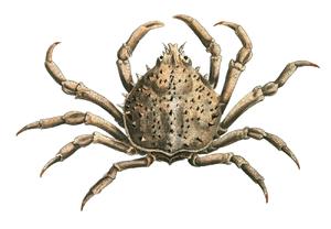 William Elford Leach - Libinia emarginata described by Leach in Zoological Miscellany in 1815.