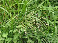 Liesgras bloeiwijze Glyceria maxima.jpg