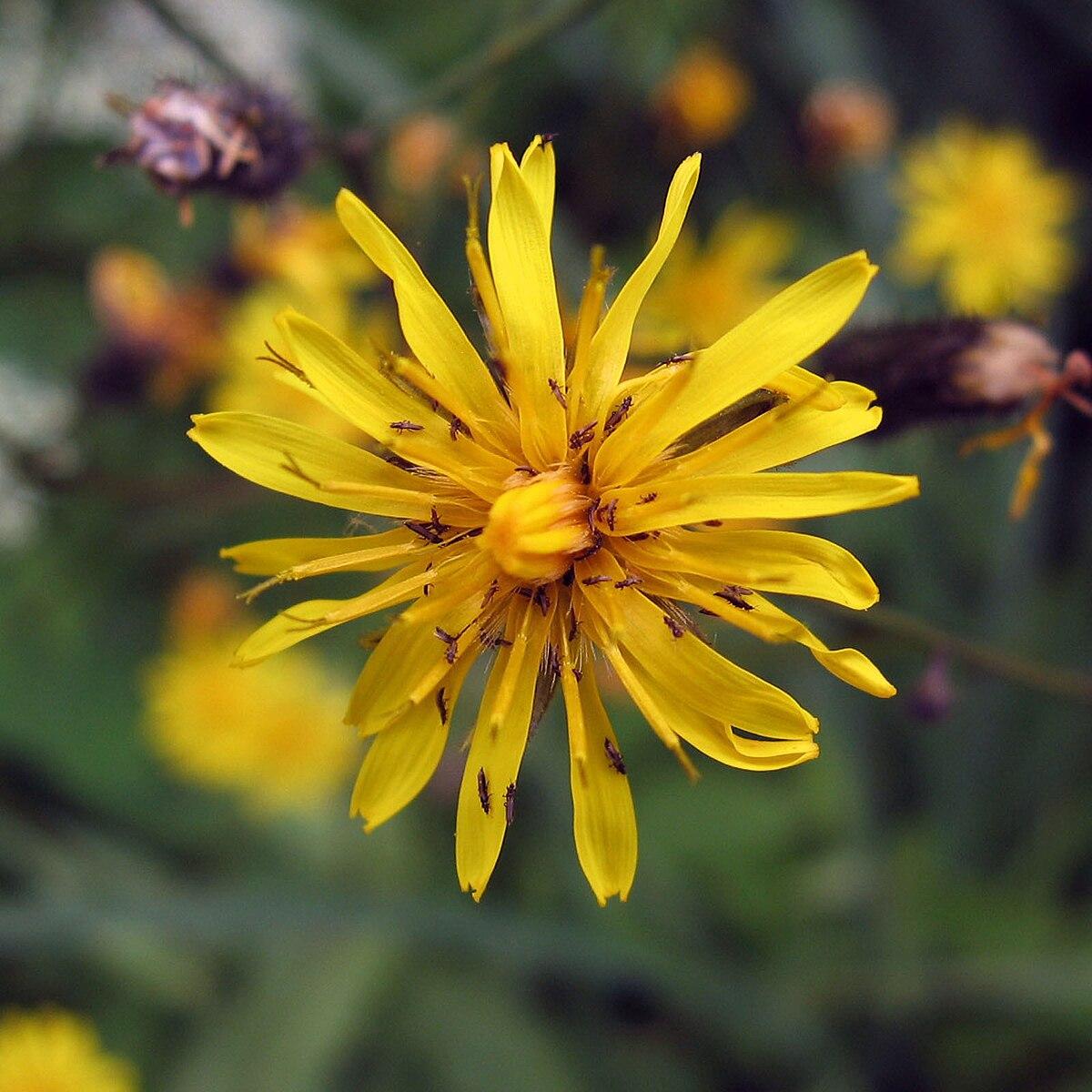 Crepis tectorum - Wikipedia - Crepis