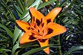Lilium asiatic Loretto 0zz.jpg