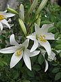 Lilium candidum (14435460545).jpg