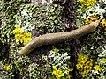 Limacus flavus - LIMACIDAE - Pirineos Huesca (9494641444).jpg