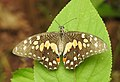 Lime Butterfly Papilio demoleus old specimen DSCN7007 (2).jpg