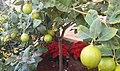 Limonero y flores de pascua.jpg