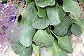 Limonium perezii 8zz.jpg