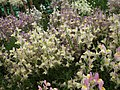 Linaria from Lalbagh flower show Aug 2013 7943.JPG
