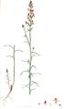 Linaria reticulata SmSo.png