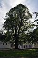 Linde in Zellhof am Grabensee 5.JPG