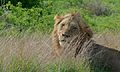 Lion (Panthera leo) (6005766202).jpg