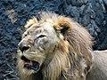 Lion AZG.jpg