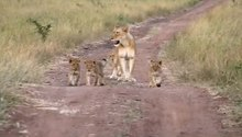 File:Lion Cubs Phinda 2011.ogv