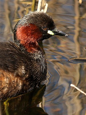 Little grebe - WWT London Wetland Centre, Barnes