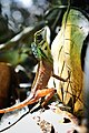 Lizard 4479.jpg