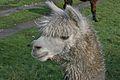 Llama in Cheshire, UK 1.jpg