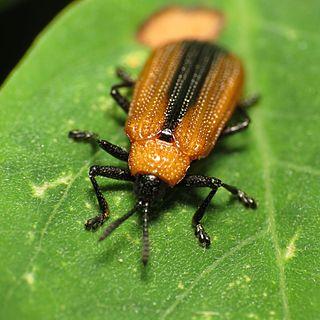 <i>Odontota</i> Genus of beetles
