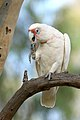 Long-billed Corella (Cacatua tenuirostris) (40354691775).jpg