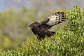 Long-crested Eagle - Mt.Kenya - Kenya H8O3625 (15526738692).jpg