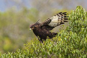 Long-crested eagle - Long-crested Eagle, Mt.Kenya, Kenya showing wing pattern