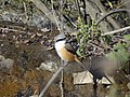 Long-tailed Shrike - Lanius schach - DSC07058.jpg