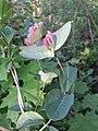 Lonicera caprifolium sl7.jpg