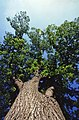 Looking up at the canopy of an American elm Tree.jpg
