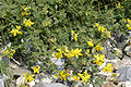 Lotus.uliginosus2.-.lindsey.jpg