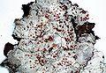 Loxospora ochrophaea-1.jpg