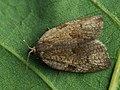 Lozotaenia forsterana (41257377632).jpg