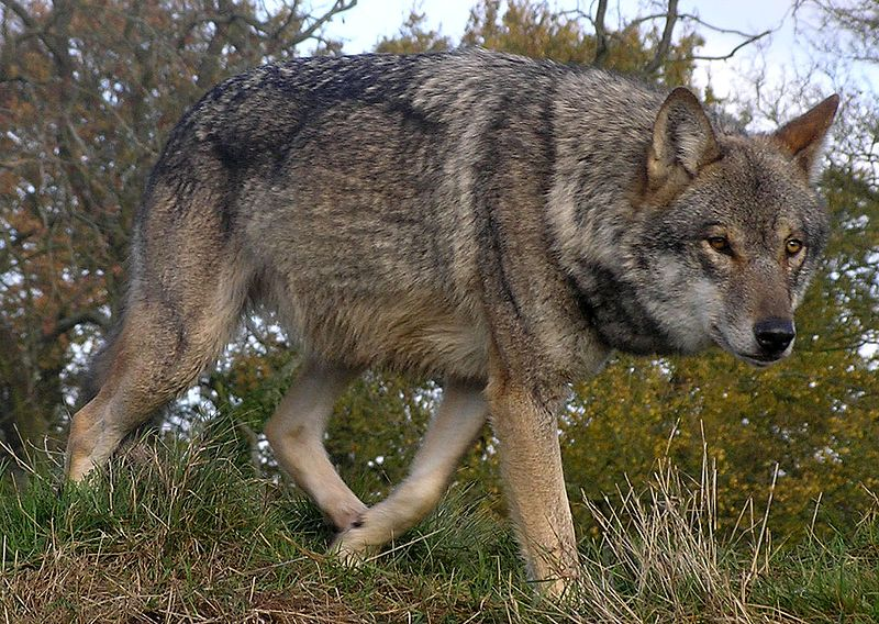 File:Lunca-European-Wolf.jpg