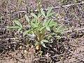 Lupinus pusillus (8718441144).jpg