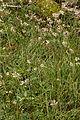 Luzula nivea (L.) Dc. (9464864003).jpg
