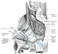 Lymphatics of the prostate-Gray619.png